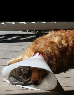 dog in recovery with cat